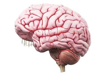Human Brain Photograph - Human Brain by Sciepro