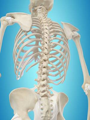 Biomedical Illustration Photograph - Human Spine by Sciepro