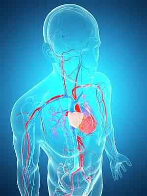 Internal Organs Photograph - Human Vascular System by Sebastian Kaulitzki