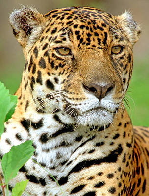 Photograph - Jaguar by Millard H. Sharp