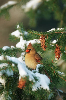 Pine Cones Photograph - Northern Cardinal (cardinalis Cardinalis by Richard and Susan Day