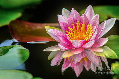 Pink Lotus  Art Print by Anek Suwannaphoom