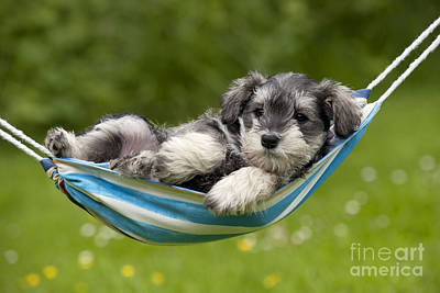 Miniature Schnauzer Photograph - Schnauzer Puppy Dog by John Daniels