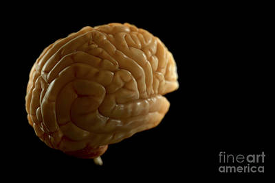 Human Brain Photograph - The Human Brain by Science Picture Co
