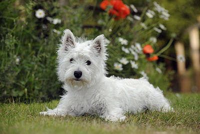 Westie Pup Photograph - West Highland White Terrier by John Daniels