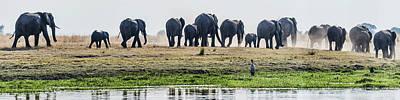 African Elephants Loxodonta Africana Art Print