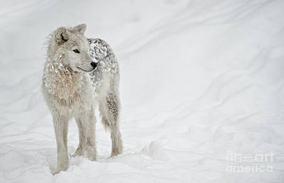 Photograph - Arctic Wolf Pup by Wolves Only