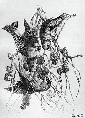 Crossbill Drawing - Blackburn Birds, 1895 by Granger