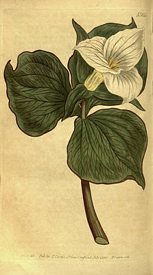 Blooming Drawing - Botanical Print By Sydenham Teast Edwards 1768 – 1819 by Quint Lox
