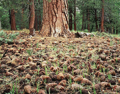 Pine Cones Photograph - California, Sierra Nevada Mountains by Christopher Talbot Frank