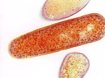 Pmc Photograph - Clostridium Difficile Bacteria, Tem by Dr. Kari Lounatmaa