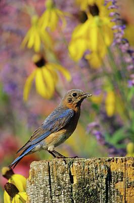 Eastern Bluebird (sialia Sialis Art Print