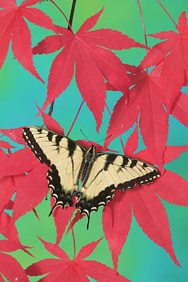 Japanese Maple Leaves Photograph - Eastern Tiger Swallowtail Papilio by Darrell Gulin