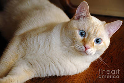 Flame Point Siamese Cat Art Print by Amy Cicconi