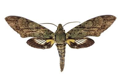 Lucifer Photograph - Hawk Moth by F. Martinez Clavel