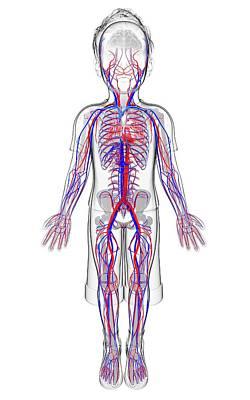 Internal Organs Photograph - Human Cardiovascular System by Pixologicstudio