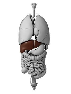 Human Internal Organ Photograph - Human Internal Organs by Sebastian Kaulitzki