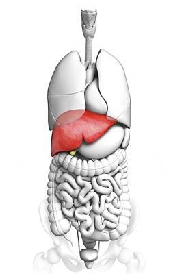 Human Liver Print by Pixologicstudio