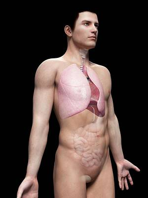 Airways Photograph - Human Lungs by Sebastian Kaulitzki