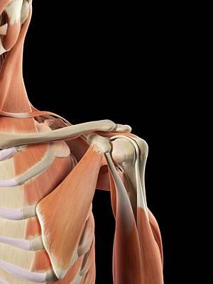 Human Shoulder Muscles Art Print by Sciepro