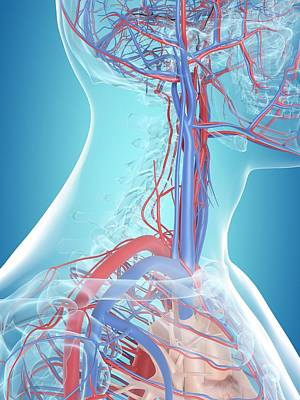 Human Vascular System Art Print by Sciepro