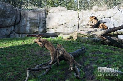 Portland Photograph - Lion Cubs by Mandy Judson