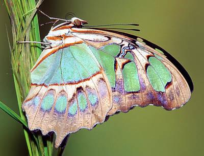 Photograph - Malachite Butterfly Siproeta Stelenes by Millard H. Sharp