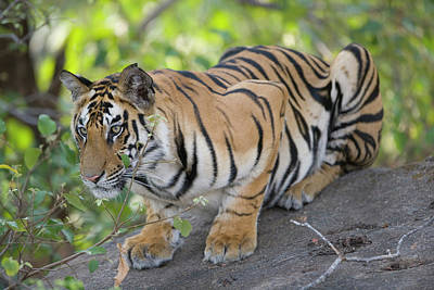 Tiger Hunt Photograph - 17 Months Old Bengal Tiger Cub Lying by Theo Allofs