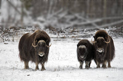 Canadian Wildlife Photograph - Muskox by Mark Newman