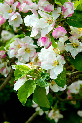 Photograph - Prunus Genus - Pink Cherry Blossom Flower On A Warm Spring Day by Fizzy Image