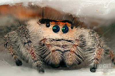 Photograph - Regal Jumping Spider by Scott Linstead