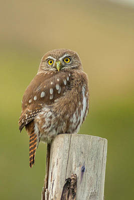 Pygmy Owl Wall Art - Photograph - South America, Chile, Patagonia, Torres by Jaynes Gallery