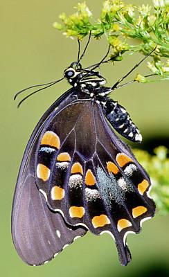 Photograph - Spicebush Swallowtail Butterfly by Millard H. Sharp