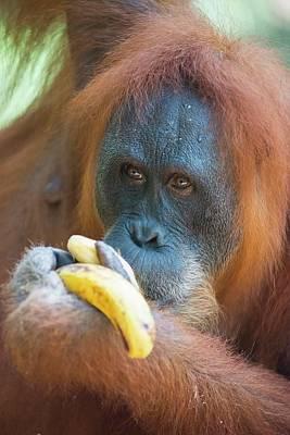 Orang-utan Photograph - Sumatran Orangutan by Scubazoo