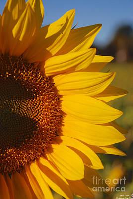 Photograph - Sunflower by Mark Dodd