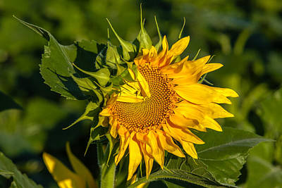 Photograph - Folded Petals Sunflower by Melinda Ledsome