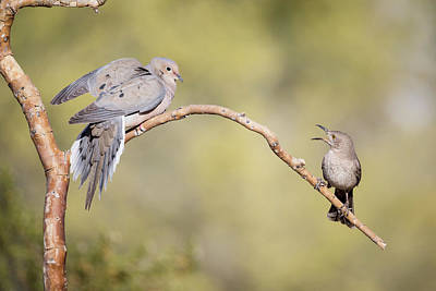 Mourning Dove Photograph - Usa, Arizona, Buckeye by Jaynes Gallery