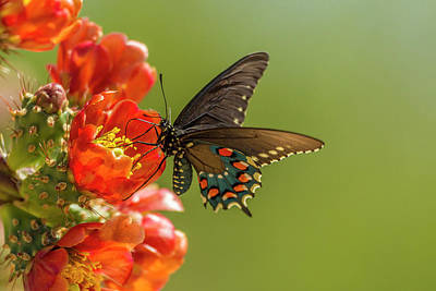 Pipevine Swallowtail Butterfly Photograph - Usa, Arizona, Sonoran Desert by Jaynes Gallery
