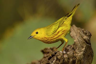 Yellow Warbler Photograph - Usa, Texas, Hidalgo County by Jaynes Gallery