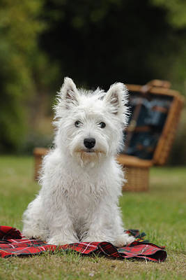West Highland White Terrier Art Print by John Daniels