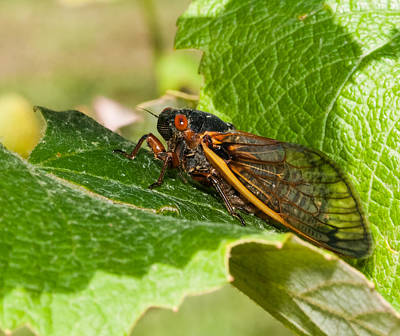 Photograph - 17 Year Cicada 2 by Lara Ellis