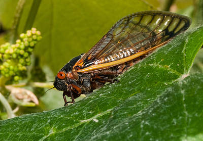 Grape Leaves Photograph - 17 Year Cicada 3 by Lara Ellis