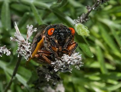 Photograph - 17 Year Cicada by Lara Ellis
