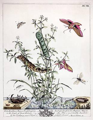 Harris Hawk Photograph - 1766 Elephant Hawk Moth Harris Aurelian by Paul D Stewart