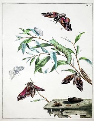 Harris Hawk Photograph - 1775 Moses Harris Aurelian Eyed Hawk Moth by Paul D Stewart