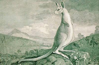 1777 Engraving Of A Kangaroo Art Print