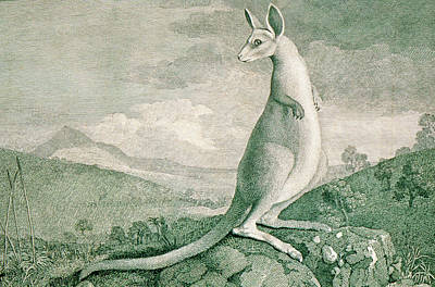 Kangaroo Wall Art - Photograph - 1777 Engraving Of A Kangaroo by George Bernard/science Photo Library