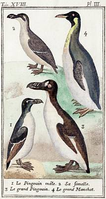 1787 Great Auk And Penguin Illustration Print by Paul D Stewart