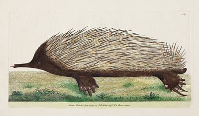 Anteater Photograph - 1792 Shaw First Illustration Of Echidna by Paul D Stewart