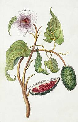 1795 Achiote Bixa Orellana Illustration Art Print by Paul D Stewart